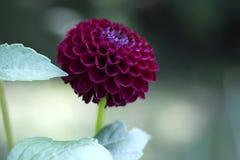 Floresça a dália Karma Choc dekorative no jardim contra um borrão foto de stock
