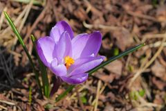 Floresça de qual a especiaria a mais cara é extraída é açafrão - açafrão selvagem roxo Fotografia de Stock