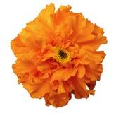 Floresça, laranja, com orvalho, fundo isolado branco com trajeto de grampeamento Fotos de Stock Royalty Free