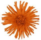 Floresça a laranja em um fundo branco isolado com trajeto de grampeamento closeup flor desgrenhado grande aster Fotografia de Stock Royalty Free