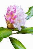 Floresça na flor completa, isolada em branco, as folhas do verde Foto de Stock