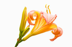 Floresça na flor completa, isolada no branco, com botões Fotos de Stock