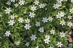 Floresça o fundo das flores da mola do nemorosa da anêmona, anêmonas de madeira na flor fotos de stock royalty free