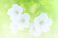 Floresça o fundo, em Tailândia e, sonho Fotografia de Stock Royalty Free
