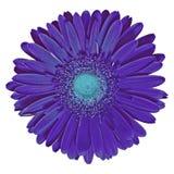 Floresça o gerbera ciano do índigo isolado no fundo branco Close-up fotografia de stock royalty free