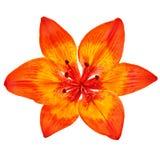 Floresça o lírio vermelho amarelo isolado no fundo branco Close-up fotografia de stock royalty free