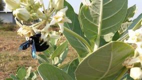 Floresça o néctar, insetos são a maneira para a frente fotografia de stock