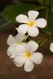 Floresça, o plumeria branco na árvore do plumeria Imagens de Stock
