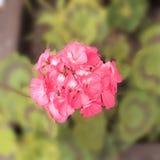 Floresça o rosa com as folhas verdes no potenciômetro foto de stock