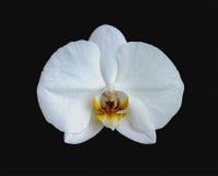 Floresça uma orquídea branca Imagens de Stock Royalty Free