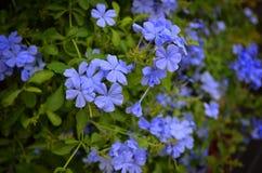 flores ฺBeautiful azuis Imagem de Stock Royalty Free