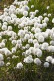 Flores árticas Imagen de archivo libre de regalías