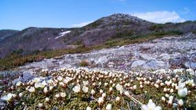 Flores árticas fotos de stock