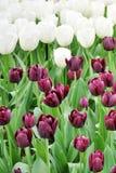 Flores, árvores, mola, verão, brilhante, roxo, vermelho, cor, curso, Europa, Amsterdão, verde, tulipas, roxo, branco Fotografia de Stock Royalty Free