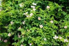Flores úteis e bonitas no arbusto cor-de-rosa selvagem Fotos de Stock