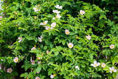 Flores útiles y hermosas en el arbusto color de rosa salvaje Fotos de archivo
