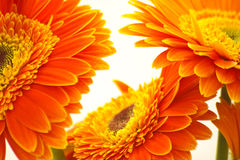 Flores Stock Afbeelding