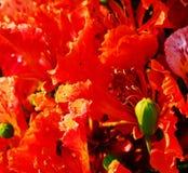 Flores 2 de Poinciana Fotografía de archivo libre de regalías