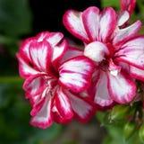 Flores 6 foto de stock royalty free