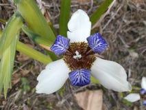flores Immagini Stock