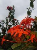 flores Fotografia Royalty Free