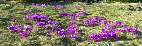 Flores - açafrões Fotografia de Stock Royalty Free