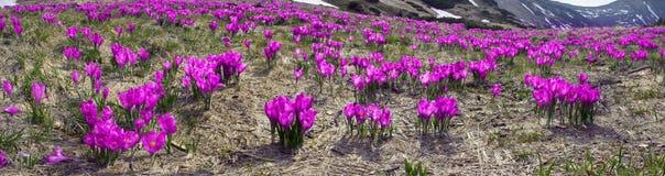Flores - açafrões Imagens de Stock