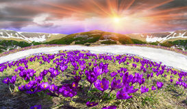 Flores - açafrões Imagem de Stock Royalty Free