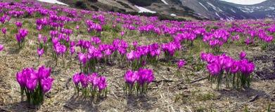 Flores - açafrões Fotos de Stock