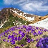 Flores - açafrões Imagens de Stock Royalty Free