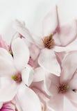 Flores abiertas frescas de la magnolia Fotos de archivo