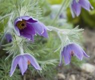 Flores acampanados de una flor de pasque imagen de archivo