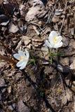 Flores adiantadas da mola: açafrões brancos Imagens de Stock