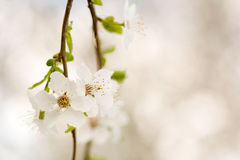 Flores adiantadas delicadas bonitas da mola. Foto de Stock