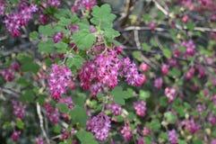 Flores adiantadas delicadas do sanguineum do Ribes fotografia de stock royalty free
