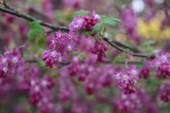 Flores adiantadas delicadas do sanguineum do Ribes foto de stock royalty free