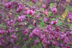 Flores adiantadas delicadas do sanguineum do Ribes imagens de stock royalty free