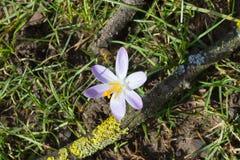 Flores adiantadas do açafrão da mola Fotografia de Stock Royalty Free