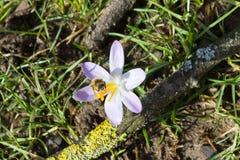 Flores adiantadas do açafrão da mola Imagens de Stock Royalty Free