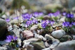 Flores adiantadas do açafrão da mola Imagem de Stock Royalty Free