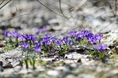 Flores adiantadas do açafrão da mola Imagens de Stock