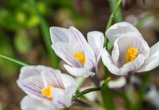 Flores adiantadas do açafrão da mola Fotografia de Stock