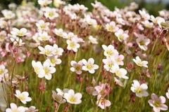 Flores adiantadas do jardim da mola Fotografia de Stock Royalty Free