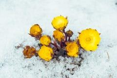 Flores Adonis entre nieve Imagen de archivo libre de regalías