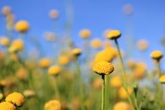 Flores africanas salvajes - bolas amarillas Imágenes de archivo libres de regalías