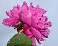 Flores agradáveis Fotos de Stock Royalty Free