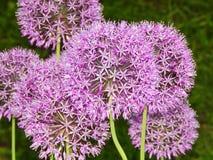 Flores agradáveis do jardim Fotos de Stock Royalty Free