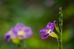 Flores agradáveis do thunbergia Fotografia de Stock