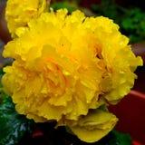 Flores agradáveis na primavera no jardim Fotografia de Stock Royalty Free