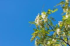 Flores agradables del acacia en una primavera Imagenes de archivo